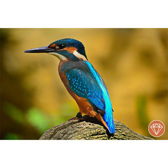 Ijsvogel Fotograaf Timo Schluter