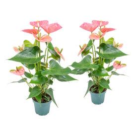 Bl 215 Anthurium Flamingoplant Rosé Per 2 Stuks Kamerplant ⌀12 Cm ↕50 Cm 3