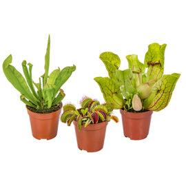 Bl 259 Set Vleesetende Planten Mix Per 3 Stuks Binnen En Buitenplant ⌀6 Cm ↕10 15 Cm 3