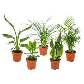 Bl 354 Mix Van 5 'easy Care' Kamerplanten Chamaedorea, Sansevieria, Clusia, Stromante, Asplenium ⌀12 Cm ↕35 Cm 3