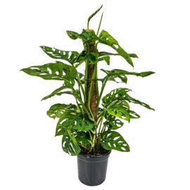 Bl 387 Gatenplant Monstera 'monkey Leaf' Mosstok Per Stuk Kamerplant ⌀17 Cm ↕65 Cm 3