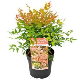 Bl 403 Heester Hemelse Bamboe Hoogte 40 Cm 1