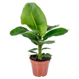 Floraya – Bananenplant – Musa 'tropicana' Per Stuk ⌀17 Cm – ↕40 Cm
