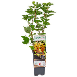 Bl 325 Bessenplant 'witte Parel' Witte Bes Hoogte 45 Cm 1