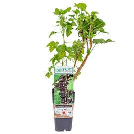 Bl 326 Bessenplant 'ben Nevis' Zwarte Bes Hoogte 45 Cm 1