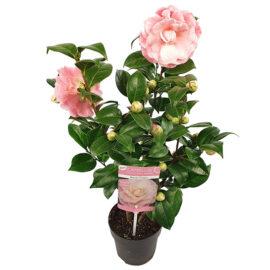 Bl 423 Camellia Japonica Roze Per Stuk Hoogte 45 Cm 1